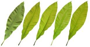 Ficus elastica leaf Stock Photos