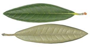 Ficus elastica liść Fotografia Stock