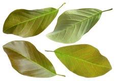 Ficus elastica liść Zdjęcia Stock