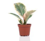 Ficus elastica plant Royalty Free Stock Photos