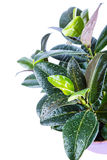 Ficus elastica Royalty Free Stock Photography