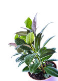 Ficus elastica. Ficus in a pot on a white background Royalty Free Stock Photography