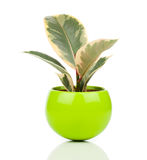 Ficus elastica roślina Obraz Stock