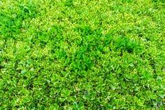 Ficus elastica variegata plant Royalty Free Stock Photo