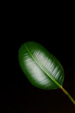 Ficus elasticoides leaf Royalty Free Stock Images