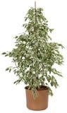 Ficus em um potenciômetro Fotografia de Stock