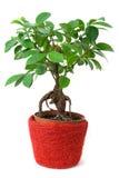 Ficus em um potenciômetro vermelho-marrom isolado Fotos de Stock Royalty Free