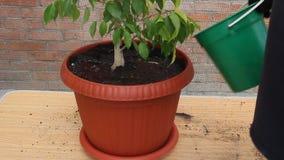 Ficus en un pote plástico almacen de metraje de vídeo