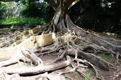 Ficus et x28 ; banyan& x29 ; avec les racines aériennes dans le jardin botanique sur l'île de San Miguel Images stock
