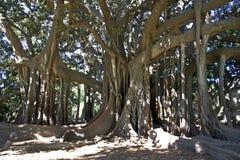 Ficus Stock Photos