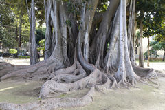 Ficus Stock Photography