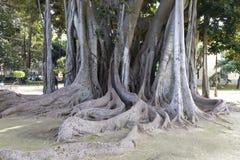 Ficus Stock Photography