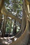 Ficus Royalty Free Stock Photo
