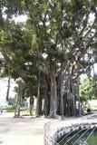 Ficus Royalty Free Stock Photos