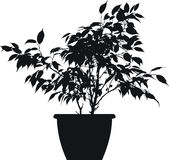 Ficus (ficus benjamina linnaeus). The black  silhoutte of ficus benjamina Royalty Free Stock Photo