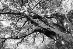 Ficus, figuier Image libre de droits