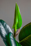 Ficus flower Stock Image