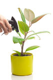 Ficus flower in a pot and spray gun in hand Stock Photography