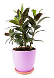 Ficus in flowerpot Royalty Free Stock Photo