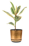 Ficus in flowerpot. Room ficus in a flowerpot isolated on a white background stock photography