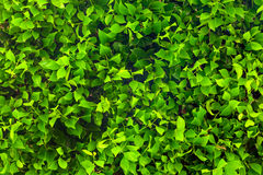 Ficus foliage Royalty Free Stock Image