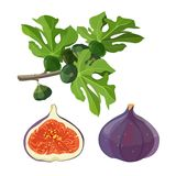 Ficus fruit and branch with leaves vector illustration. Ficus fruit and branch with leaves. Tree shrub or climbing plant of large genus that includes figs and Stock Images