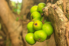 Ficus fruits on the tree Stock Photos