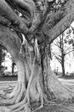 Ficus Stock Image