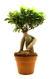 Ficus Ginseng. On a white background Stock Photo
