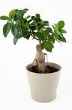 Ficus Ginseng Bonsai Fotografia Royalty Free