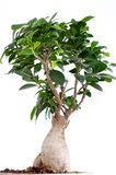 Ficus Ginseng Bonsai Stock Photo