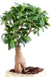 Ficus Ginseng. Bonsai with water drops Royalty Free Stock Image