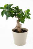Ficus ginseng bonsai. On white background Royalty Free Stock Photography