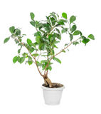 Ficus ginseng Stock Images