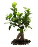 Ficus ginseng with soil Stock Image