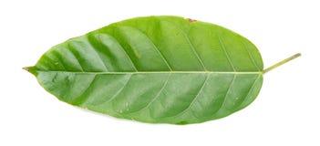 Ficus glaberrima liść na białym tle Zdjęcia Royalty Free