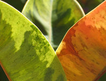 Ficus glow. Three leaves of a ficus plant. The right one is a tender one. the one at the back is blurred Royalty Free Stock Photography