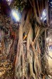 Ficus grande Baniano sagrado Foto de archivo libre de regalías