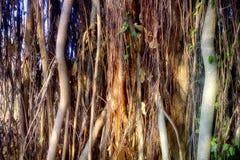 Ficus grande Baniano sagrado Fotografía de archivo