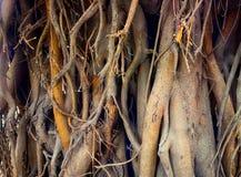 Ficus grande Baniano sagrado Imagen de archivo