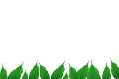 ficus green Fotografia Stock