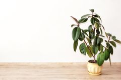 Ficus - green house plant. Green house plant ficus in flowerpot in the interior of the room stock photo