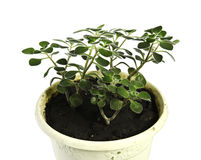 Ficus grows in a pot on a white background isolated Stock Images