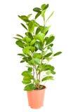 Ficus i den bruna krukan Arkivbild