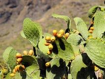 Ficus-indica Opuntia Fotografering för Bildbyråer