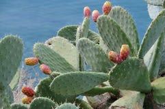 Ficus-indica Opuntia Arkivfoto