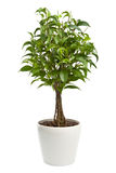 Ficus isolato Immagine Stock Libera da Diritti
