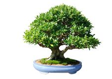 Ficus japan bonsai tree Stock Images