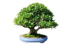 ficus japan bonsai tree Stock Images