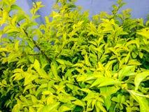 Ficus kwiat Zdjęcie Stock
